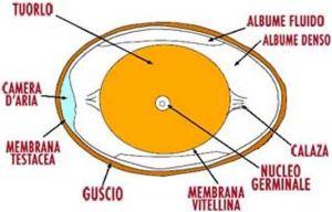uovo-struttura
